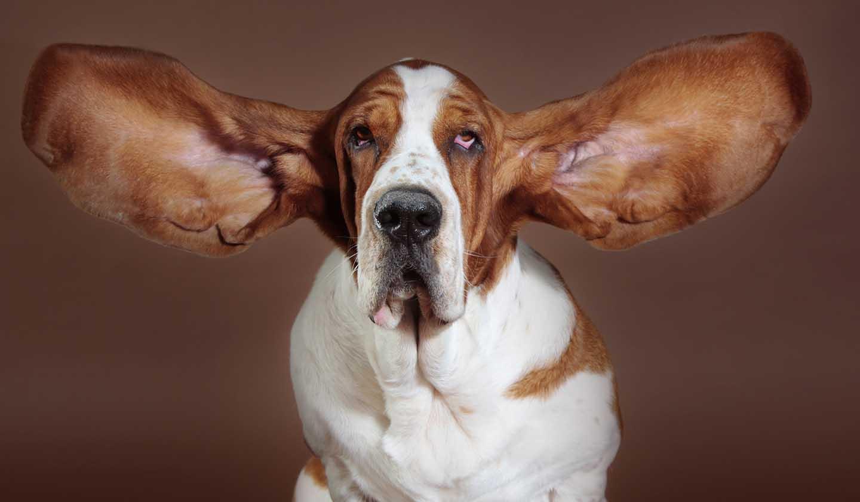 Animais de Companhia - Ouvidos